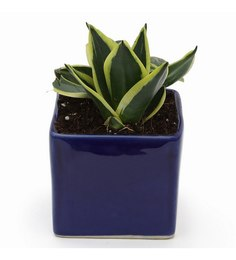 Exotic Green Milt Indoor Plant With Blue Ceramic Pot
