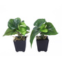 Fourwalls Green Synthetic Artificial Anthurium Plant with Vase - Set of 2