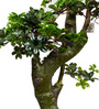 Ginni Bloom Green PVC & Synthetic Pittosporum Tree with Natural Looking Trunk