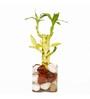 Nurturing Green 5 Sticks Bamboo Plant