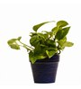 Nurturing Green Hybrid Indoor Money Plant with Blue Ceramic Pot