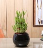 Nurturing Green Lucky Bamboo 3 Layer Plant & Black Ceramic Pot