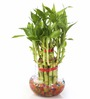 Nurturing Green Lucky Bamboo Two Layer Plant & Round Glass Pot