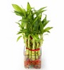 Nurturing Green Lucky Bamboo 2 Layer Plant & Big Square Pot