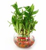 Nurturing Green Lucky Bamboo 2 Layer Plant & Round Glass Pot