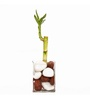 Nurturing Green Single Stick Bamboo Plant In Transparent Pot