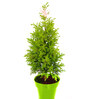 Rolling Nature Christmas Tree in Green Colorista Pot