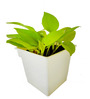 Rolling Nature Golden Pothos in White Square Pot