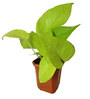Rolling Nature Good Luck Golden Money Plant in Brown Hexa Pot