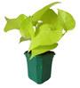 Rolling Nature Good Luck Golden Money Plant in Green Hexa Pot