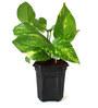 Rolling Nature Good Luck Money Plant in Black Hexa Pot