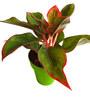 Rolling Nature Red Aglaonema Siam Aurora in Green Colorista Pot