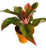 Rolling Nature Red Aglaonema Siam Aurora in Orange Colorista Pot