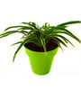 Rolling Nature Spider Plant in Green Colorista Plant