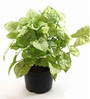 Rolling Nature Syngonium White Plant