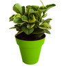 Rolling Nature Variegated Peperomia in Green Colorista Pot