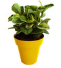 Rolling Nature Variegated Peperomia in Yellow Colorista Pot